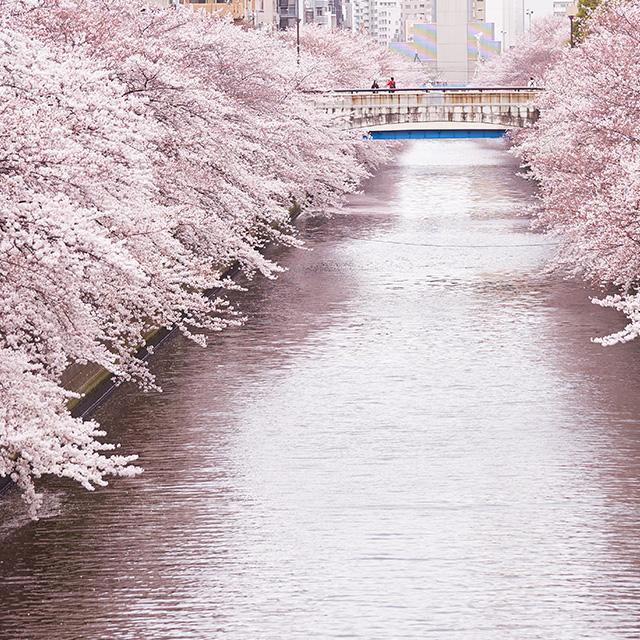 人力車で巡る目黒川の観桜小旅行